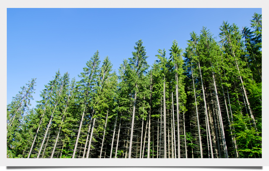 Pine-Based Chemicals And Fuel Demand In The Spotlight